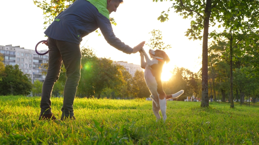 Smart dog raise and touch man hand by front paws, sunny park lawn at morning hour. Beagle stand up on hind legs and give five to owner, good boy | Shutterstock HD Video #1037934881