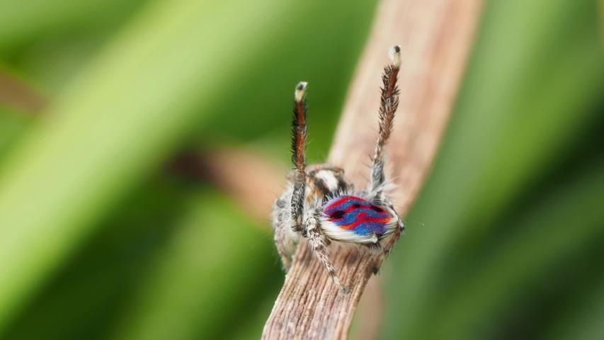 Blue peacock spider full dance in the wild. Macro locked off copyspace