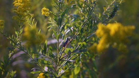 Zoom between flowers towards grasshopper sitting on a plant in slow motion