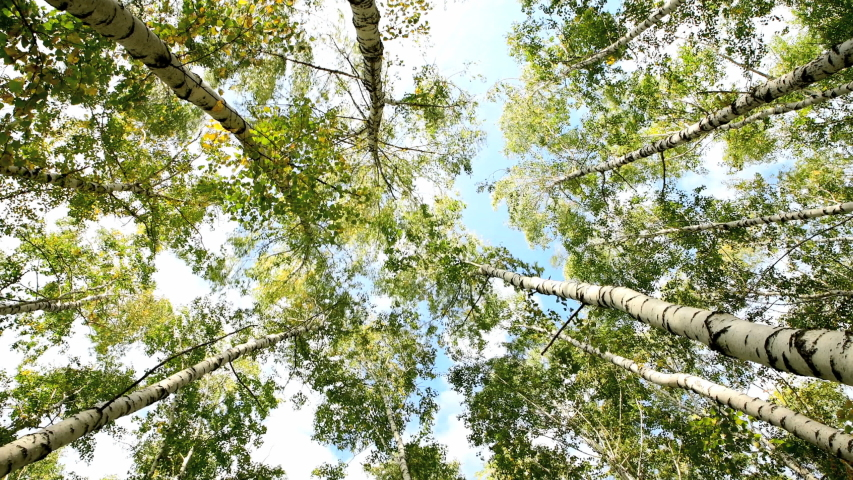 In autumn, birch trees sway in the wind against the sky, a view from below. Birch Grove