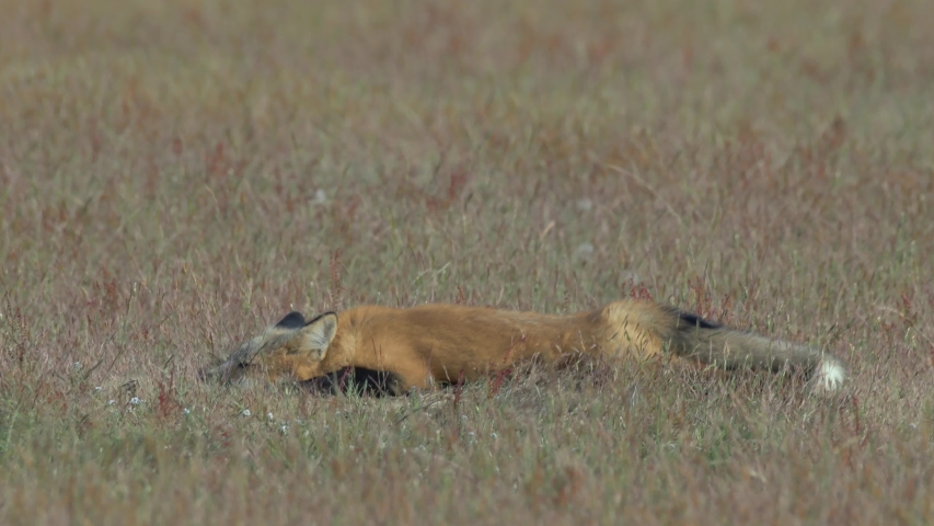 Young Red Fox Takes a Nap and Stays cool on the Prairie #1038067865