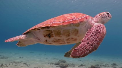 Underwater video from scuba diving with sea turtles. Swimming sea turtle and sandy bottom.  Wild ocean animal. Marine tropical life in the shallow water.