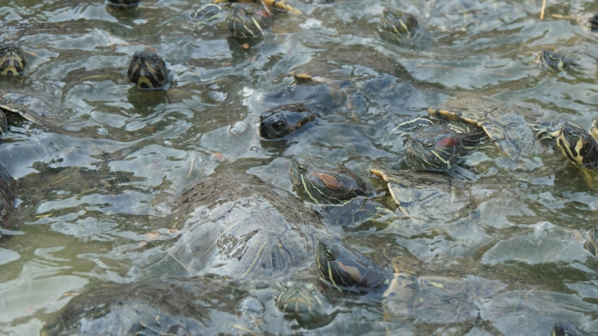 Cheerful view of many small turtles creeping, swimming, climbing and trying to reach the shore of a pool on a sunny day in summer. They look energetic. | Shutterstock HD Video #1038178730