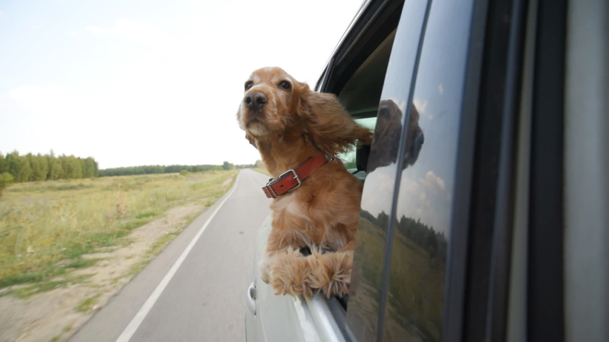 A dog of the breed Cocker Spaniel rides in a car and looks out the open window. #1038202532
