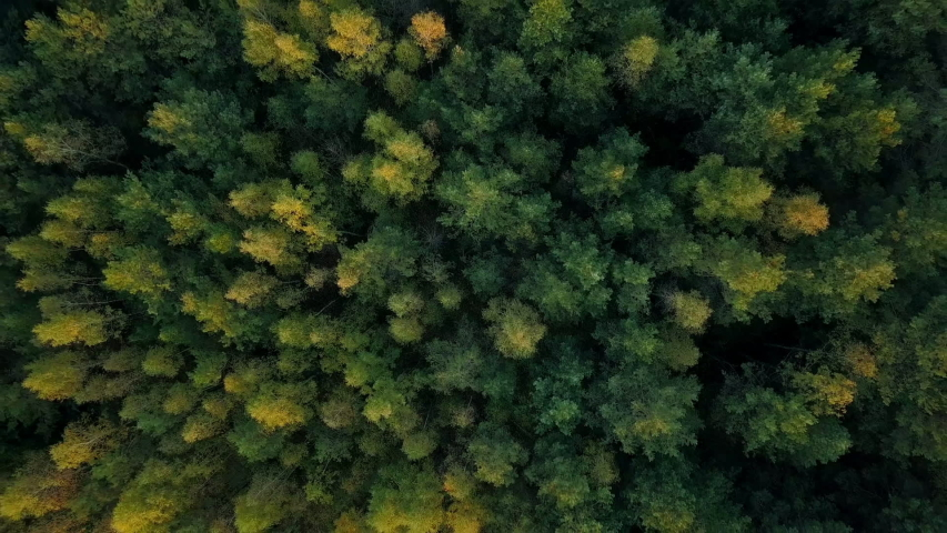 Early autumn in forest aerial top view. Mixed forest, green conifers, deciduous trees with yellow leaves. Fall colors countryside woodland. Drone zoom out spins above colorful texture in nature #1038203501