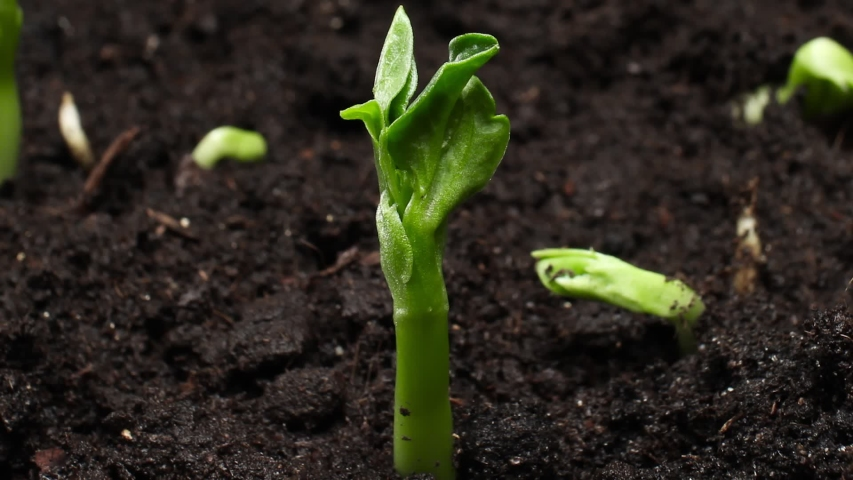 Growing Plants Timelapse Pea Sprouts Germination Royalty-Free Stock Footage #1038248639