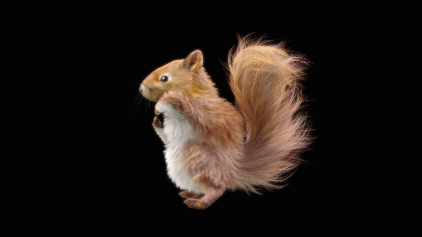 squirrel Dance CG fur 3d rendering animal realistic CGI VFX Animation Loop  composition 3d mapping cartoon, with Alpha Channel