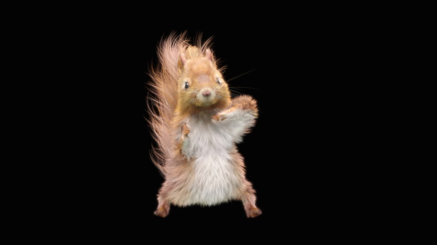 Squirrel Dance CG fur 3d rendering animal realistic CGI VFX Animation Loop  composition 3d mapping cartoon, Included in the end of the clip with Alpha matte.
