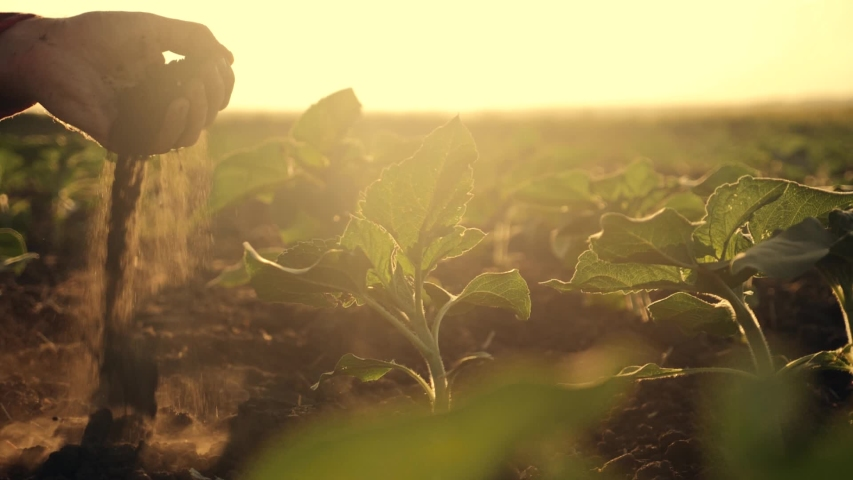 Agriculture. Farmer in a green field, holding fertile soil in his hands. Farmer checks the fertile soil. Agriculture concept. Farmer and young green plants. Fertile black soil. Farmer in the field Royalty-Free Stock Footage #1038253865