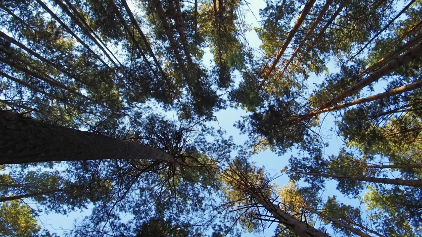 Walking through Siberian pine forest looking up to the tree crowns and blue sky | Shutterstock HD Video #1038279458