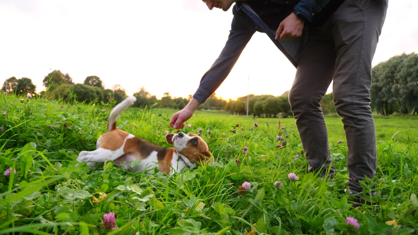 Man move hand near dog head, give roll command to beagle lying in grass. Active pet follow order, turn around. Green herbs and clover flowers at wild lawn, nice evening time Royalty-Free Stock Footage #1038313052