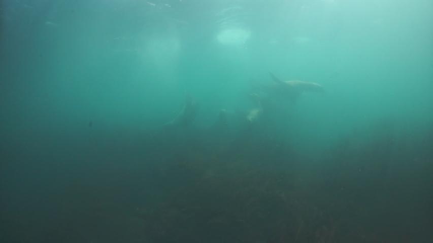 Seals underwater of Sea of Okhotsk. Family of northern sea lion marine mammal animal underwater in muddy cold water wild nature. Concept of pinniped animals underwater.