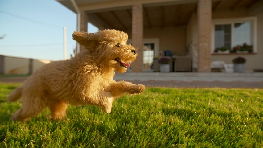 Little cute toy poodle dog running fast at the backyard at slowmotion, 200fps. His face is smiling. Yard covered with green lawn, green grass with house on the background. Apricot fur fluttering in