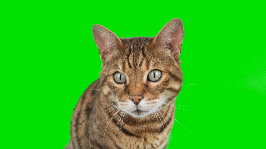 4K Bengal cat on green screen isolated with chroma key, real shot. Close-up portrait of cat sitting down looking around