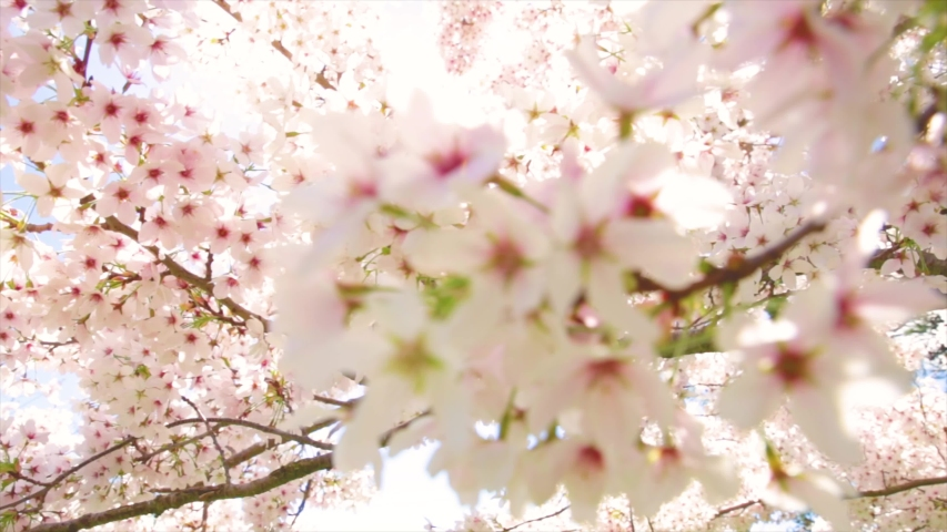 Cherry Blossom, Sakura Flower, Blossoming Cherry Tree In Full Bloom On Blue Sky Background, Beautiful Spring Flowers, Fresh Pink Flowers, Beauty Of Fresh Blossoms Petals