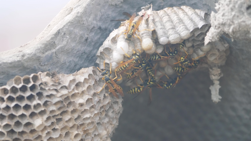 wasps under the roof of the house pests lifestyle . wasps nest. wild wasp slow motion video. allergy danger bite hazard