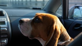 Sad dog travel at front passenger seat of small car, turn head and look back to camera. Short clip of handsome beagle traveller with joyless muzzle.