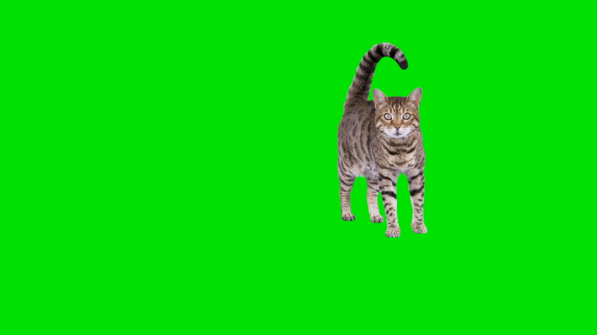 4K Bengal cat on green screen isolated with chroma key, real shot. Cat standing looking at camera