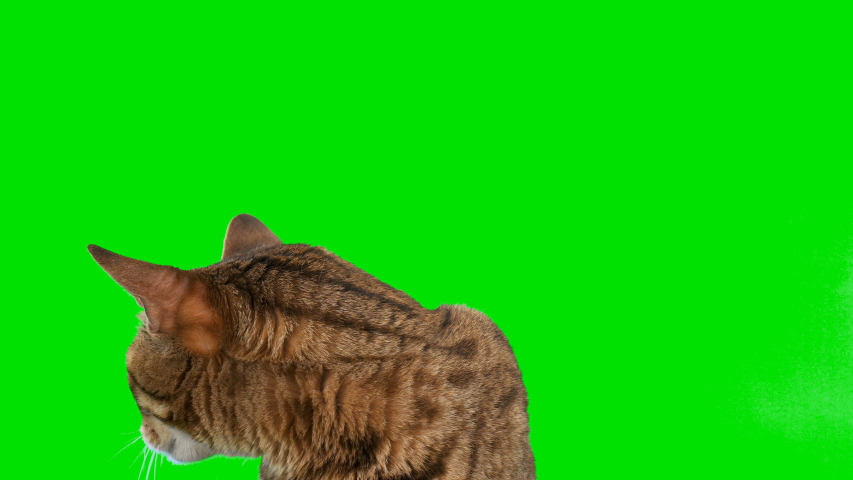 4K Bengal cat on green screen isolated with chroma key, real shot. Close-up portrait of cat sitting down looking around raising up his paw   Shutterstock HD Video #1038407741