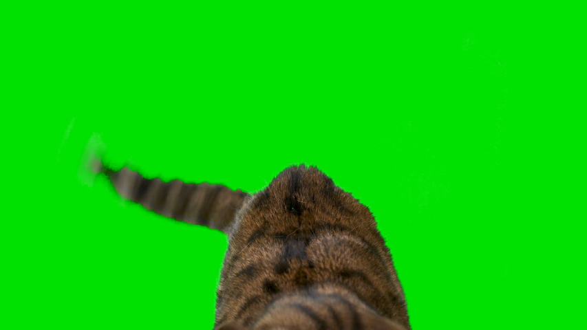4K Bengal cat on green screen isolated with chroma key, real shot. Close-up portrait of angry cat hissing and raising up his paw | Shutterstock HD Video #1038407744