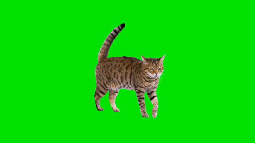 4K Bengal cat on green screen isolated with chroma key, real shot. Cat walks, sits down and starts looking around