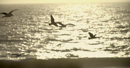 4K video of flying gulls at California beach with ocean at background. Sunset makes evening gold and warm.
