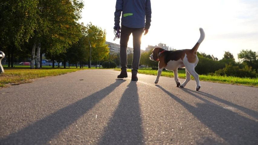 Happy dog walk with owner at sunny path in morning time, green city park. Slow motion shot, beagle jog after man, look around, tail in air. Sun flash ahead, quiet and cool early autumn time
