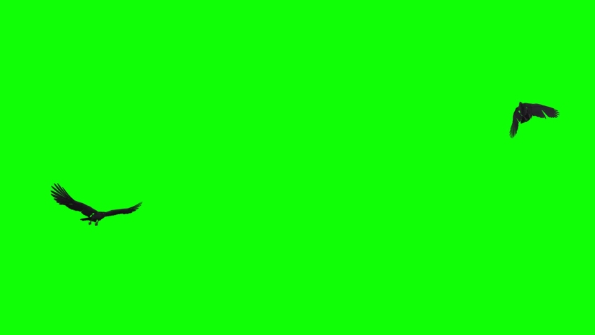 Two black birds as raven, crow,rook flying in loop. Realistic 3D model animation isolated on green screen.