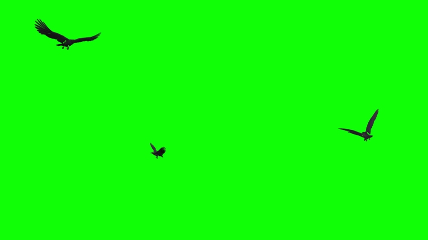 Three black birds as raven, crow, rook flying in loop. Realistic 3D model animation isolated on green screen.