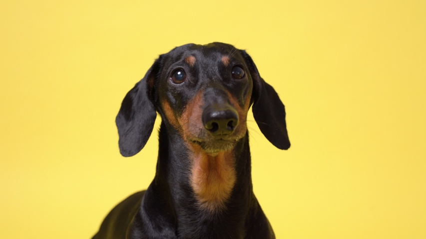 Dachshund dog portrait, black and tan, carefully looking at the camera, barking, isolated on yellow background