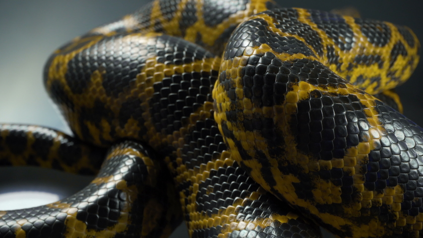 Closeup video of breathing yellow boa anaconda #1038510554