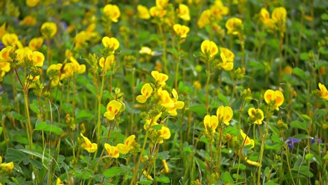 Beautiful wild flowers at Kaas plateau, UNESCO world heritage site at Maharashtra, India