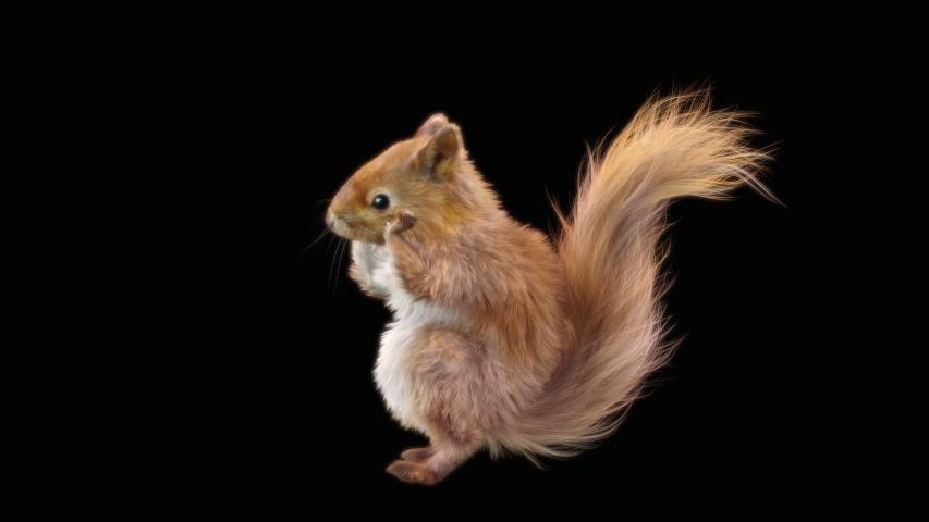 Squirrel Dance CG fur 3d rendering animal realistic CGI VFX Animation Loop  composition 3d mapping cartoon