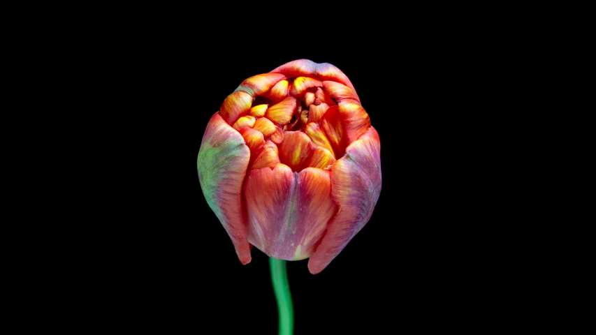 Timelapse of red tulip flower blooming on black background, | Shutterstock HD Video #1038616838