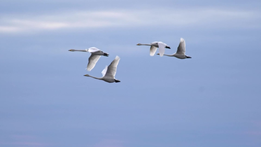 Slow motion shot of swans flying over blue sky background