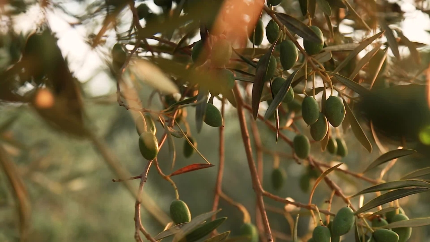 Olive tree in sunset. Beautiful fresh olive on the tree. Green vegetable | Shutterstock HD Video #1038720908