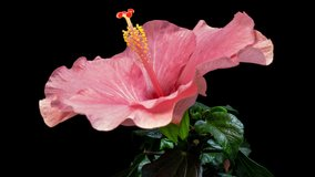 Timelapse of the hibiscus flower blooming on a black background