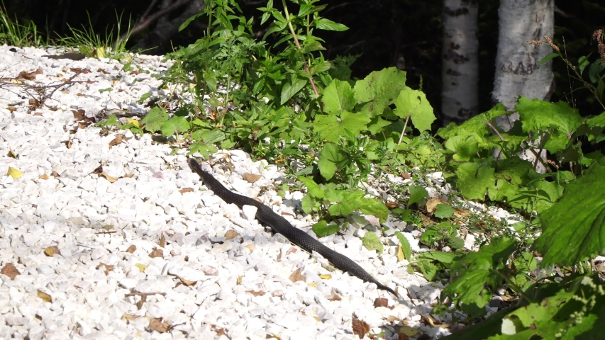 Black poisonous snake lies on the stones. | Shutterstock HD Video #1038771089
