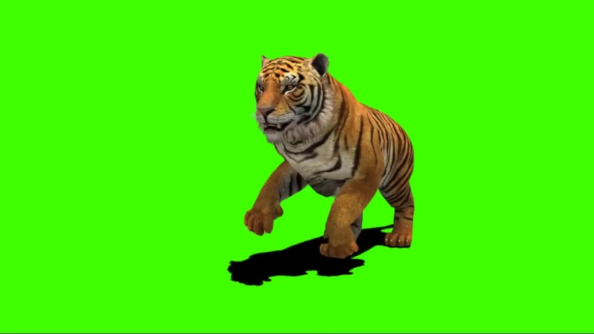 Female Bengal Tiger Side View Running On Green Screen