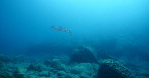 Squid cuttlefish underwater change color camouflage calamari cephalopod