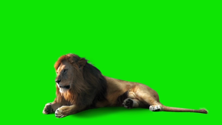 Real Male Lion Sits On Green Screen