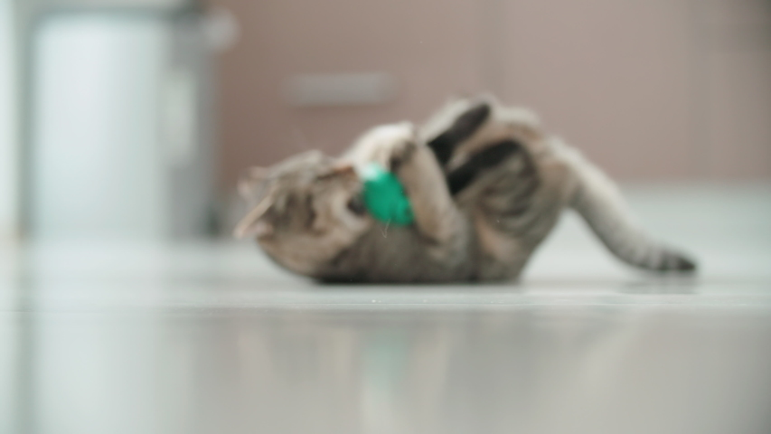 Kitten cuddling with a small green ball on floor 4K. Long shot slow motion tracking a small cat around the apartment playing with small ball.