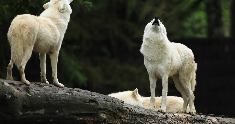Howling of a Artic wolf family in the forest during the autumn
