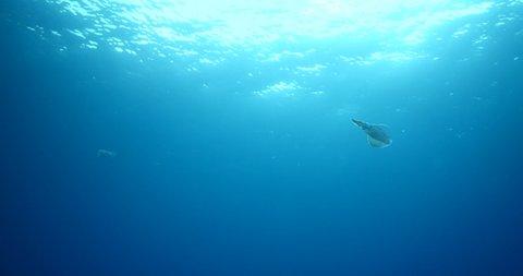 squid kalamari underwater swim slowly Loligo vulgaris