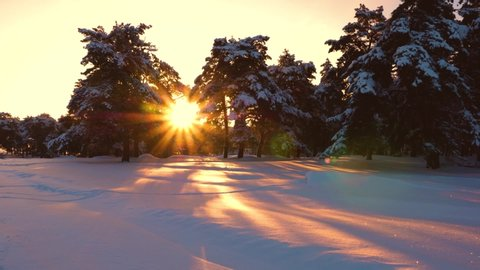 fabulous sunbeams shine through snowy pine, spruce trees. Beautiful Christmas winter forest at sunset. pines in park covered with snow bright rays of sun illuminate the trees and snow.