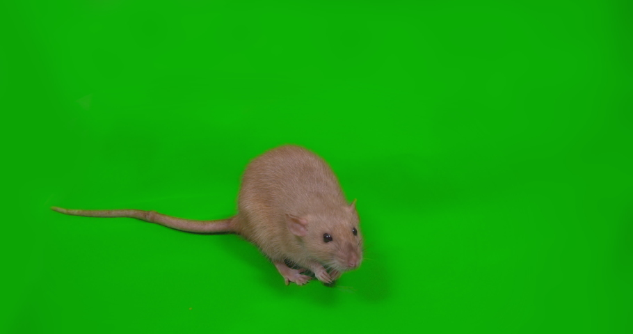 Cute rat. Green screen. Symbol of coming 2020 New Year, Christmas Close up | Shutterstock HD Video #1038997694