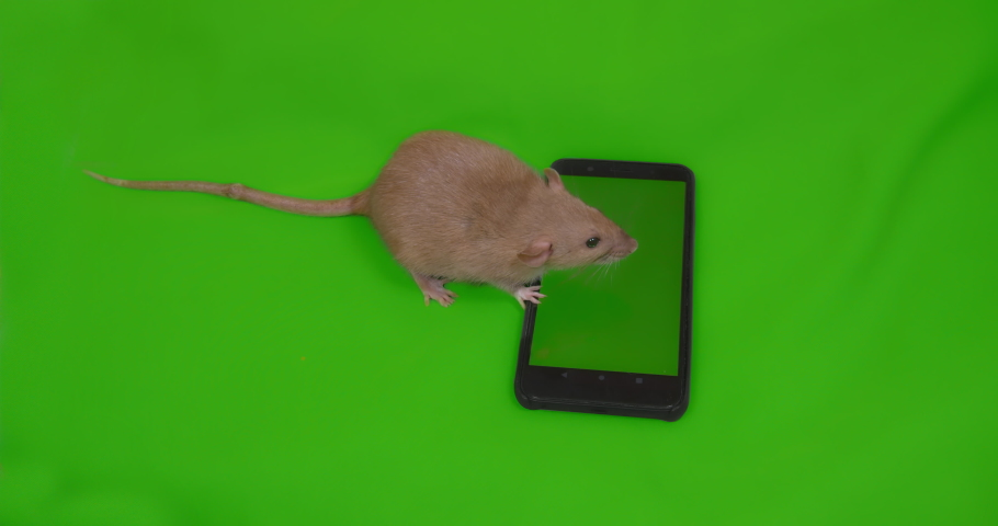 Cute rat with smartphone. Green screen. Advertising concept. Social media, shopping online, e-commerce. Washing.  Online delivery | Shutterstock HD Video #1038998342