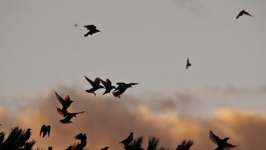 Flock of birds, Starlings (Sturnus vulgaris) surrounding their sleeping tree. France | Shutterstock HD Video #1039022957
