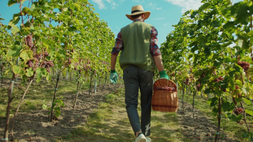 Back of french farmer in gloves and strawhat selecting ripe grapes collecting into basket working in nature of beautiful vineyard.