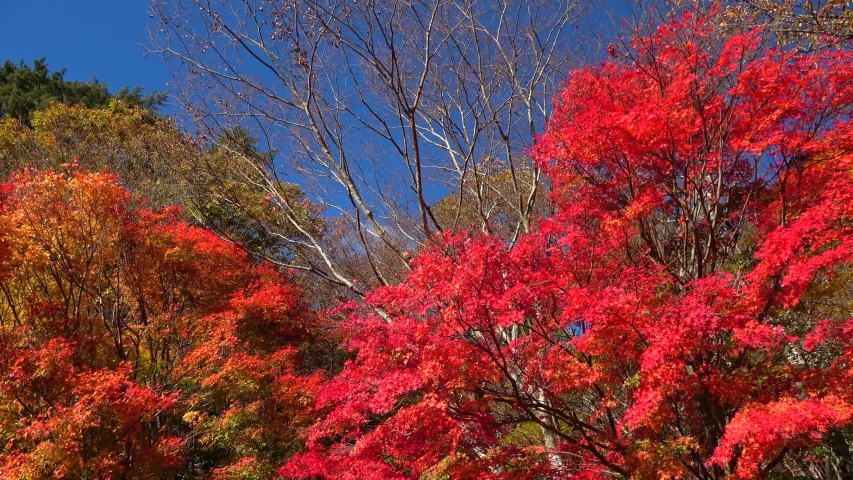 Autumn leaves japan nature landscape | Shutterstock HD Video #1039085438